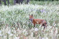 Red fox - Renard roux