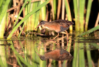 Virginia Rail - Râle de Virginie